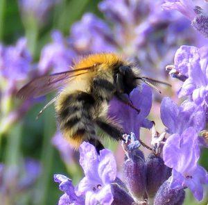 biene auf lilien