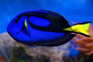 paletten-doktorfisch im Korallenriff